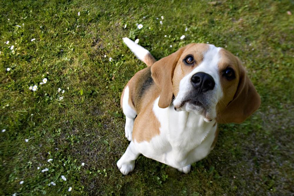 monty-ardvreck-caerlaverock-von-dapperdawg-show-team-scottish-beagle-benruadh-beagles-manchester.jpg