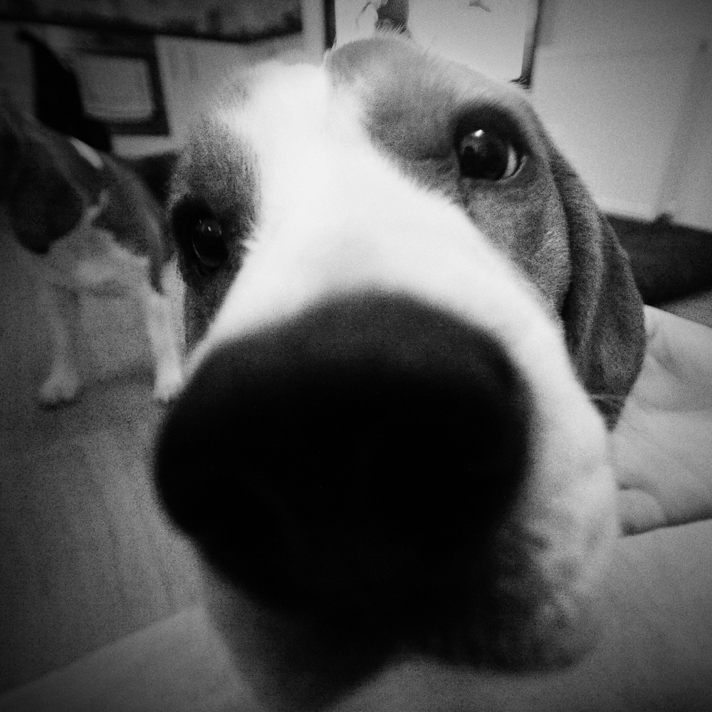 Beagles Nose.jpg