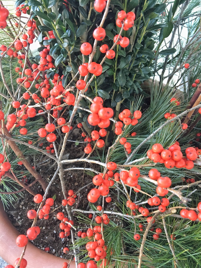 The vibrant colors of holiday greenery