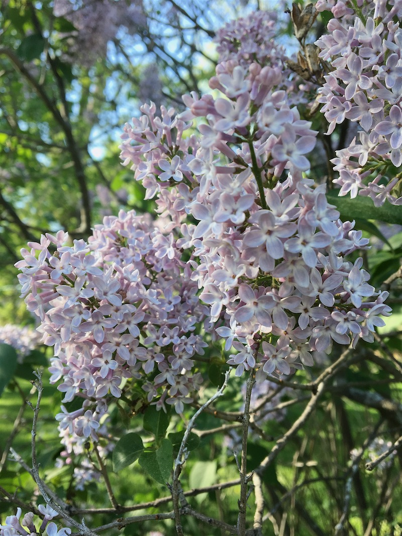 Lilac blooms- I love lilac trees so much!