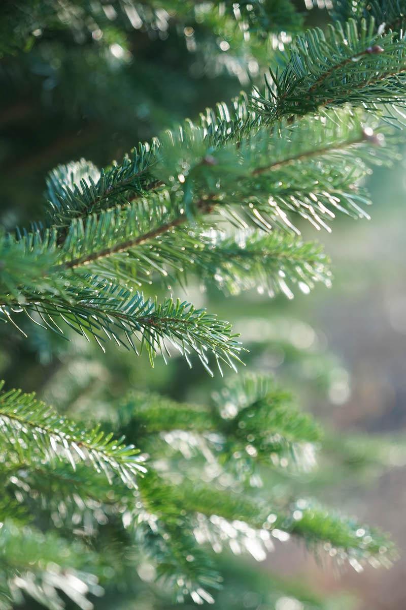 Pine trees and sunshine