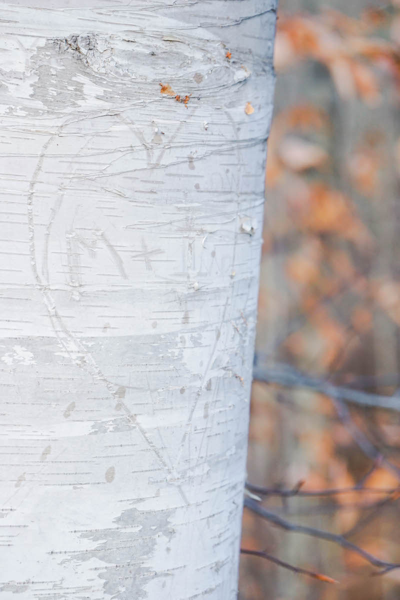 Birch trees and love notes
