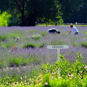 lavendar (1).jpg