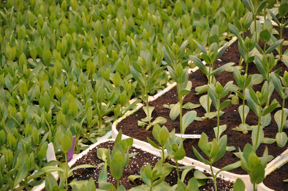 plant seedlings in nursery
