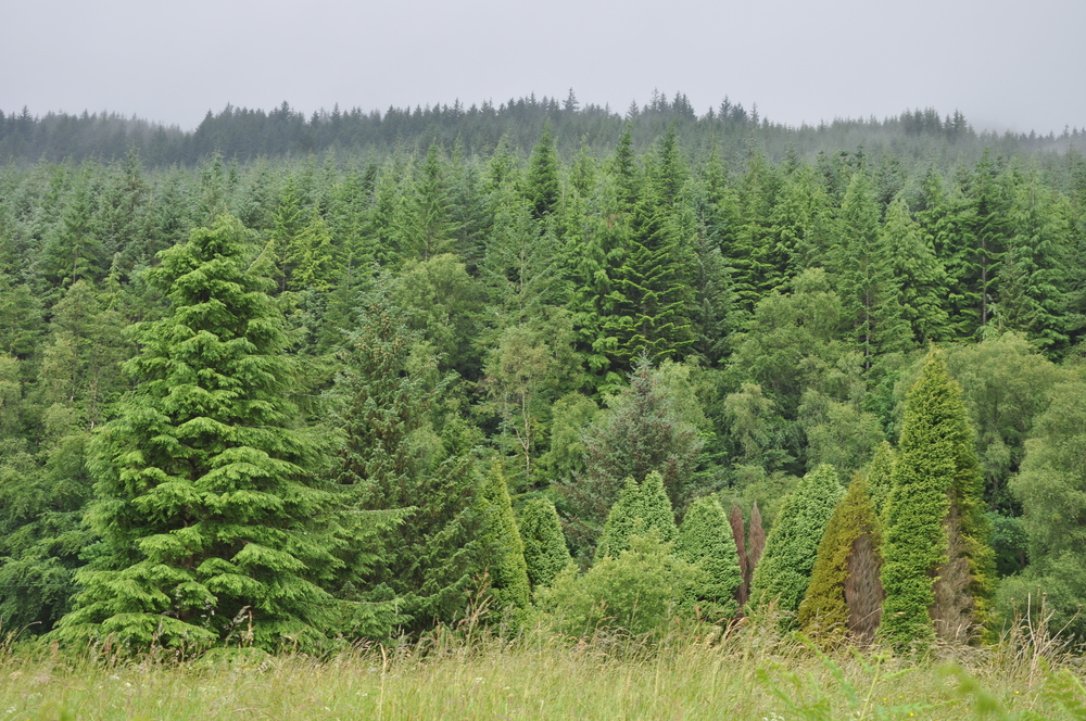 conifer trees in Scotland