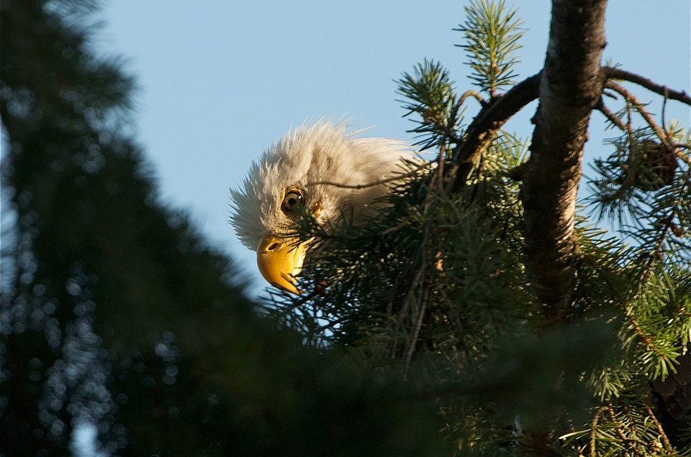 cedar-beach-lou-eagle.jpg