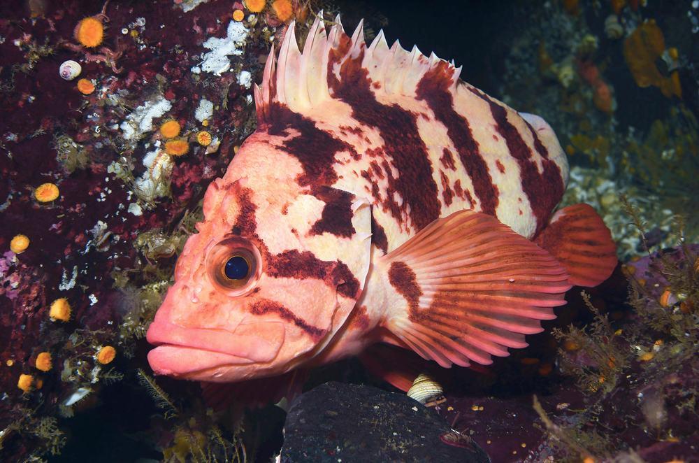 cedar-beach-tiger-rockfish-sebastes-nigrocinctus.jpg