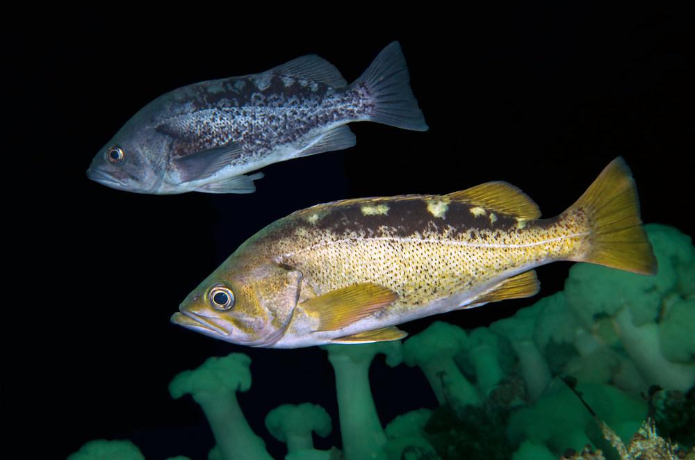cedar-beach-yellowtail-rockfish-sebastes-flavidus-black-rockfish-Sebastes-melanops.jpg