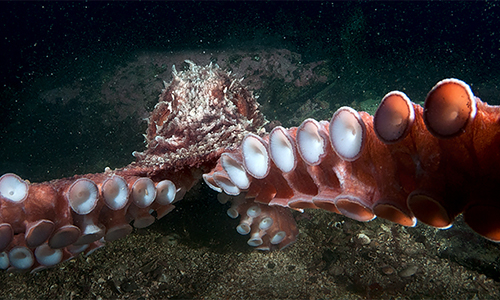 cedar-beach-richard-salas-octopus.jpg
