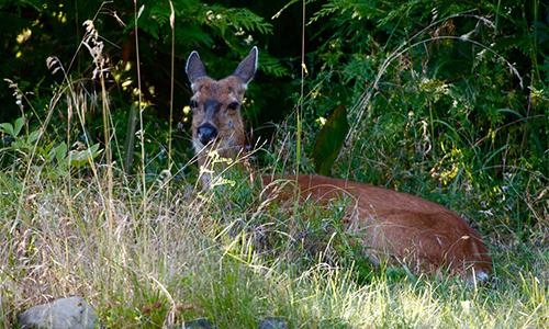 cedar-beach-lou-deer.jpg