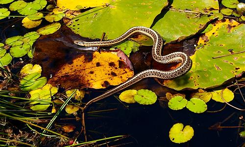 cedar-beach-lou-garter-snake.jpg