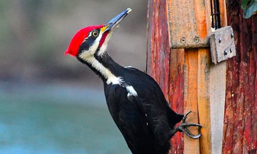 cedar-beach-pileated-woodpecker.jpg