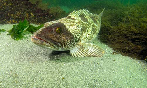 cedar-beach-jan-lingcod.jpg