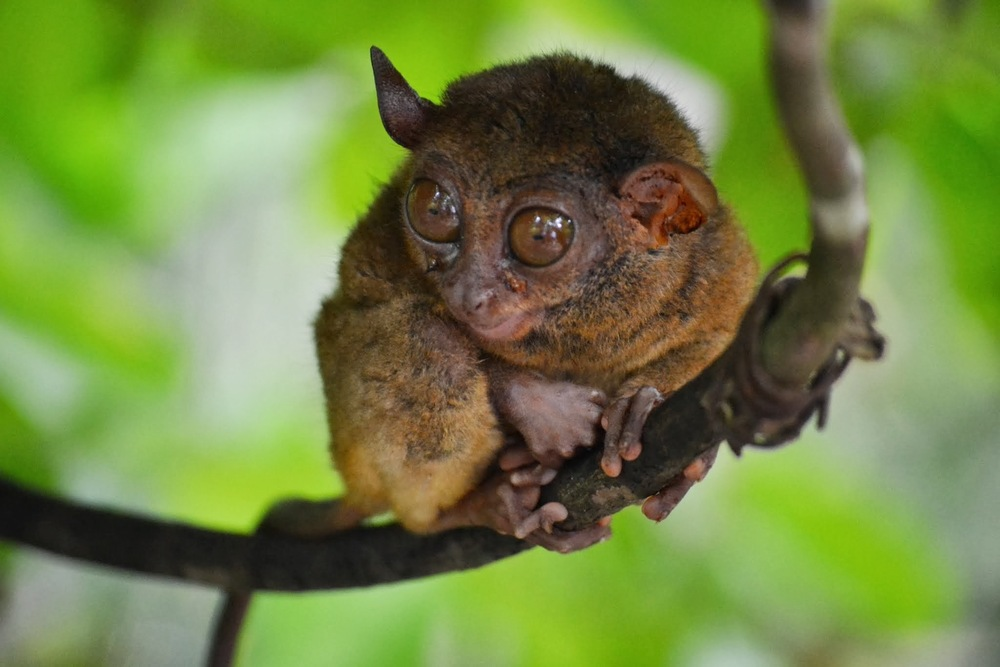 The Philippine tarsier, one of the smallest primates on Earth.  Bohol, Philippines, 2013. Photo: Owen Liu