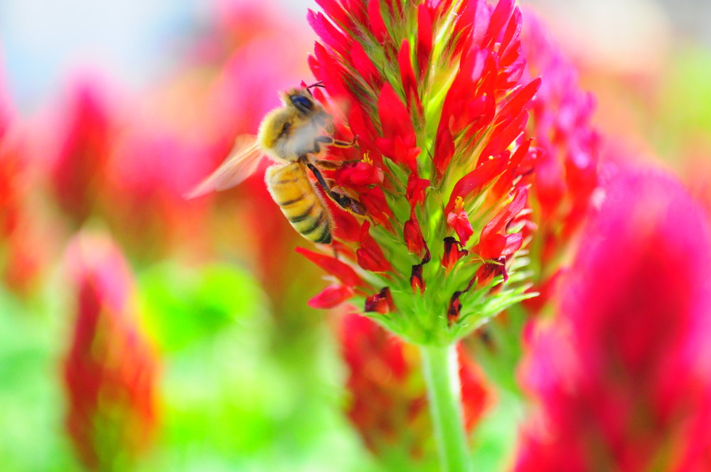 Crimson clover, bee, close-up.JPG