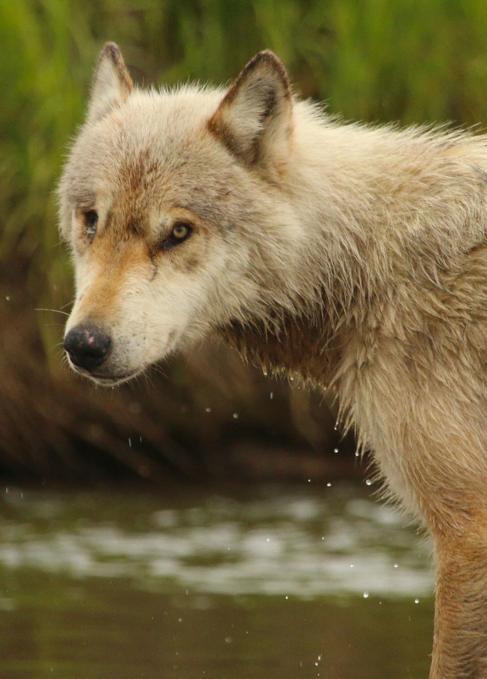 BBwolf.jpg