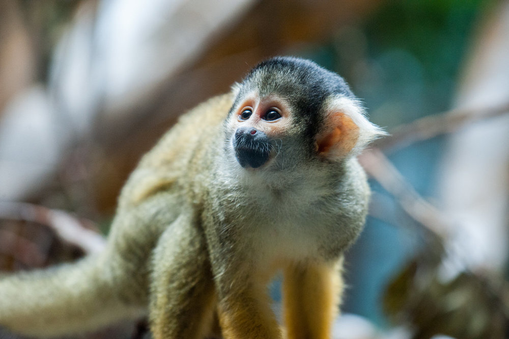 Squirrel+Monkey-22052329731.jpg