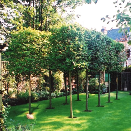 Hornbeam boxhead tree