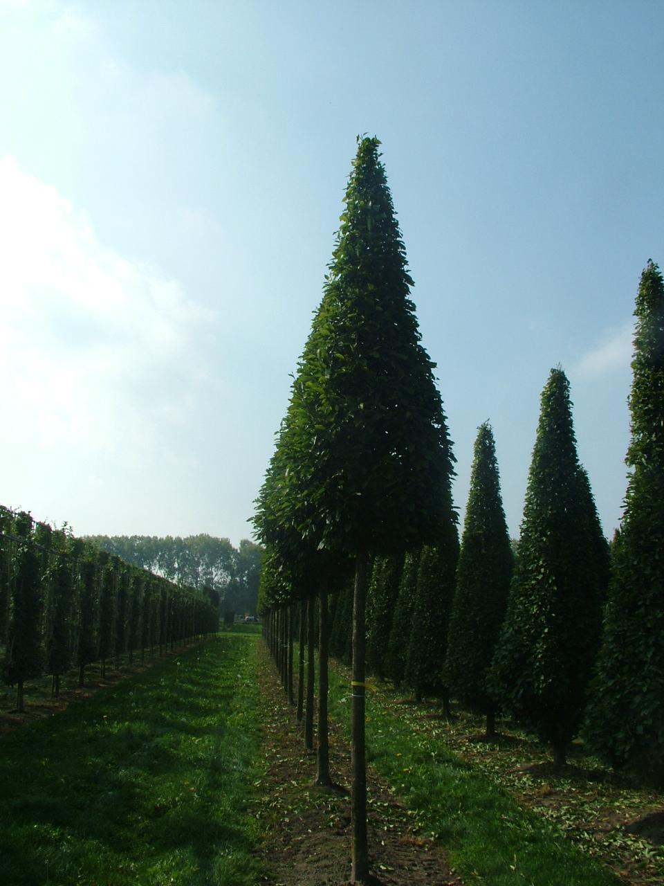 Hornbeam conehead tree