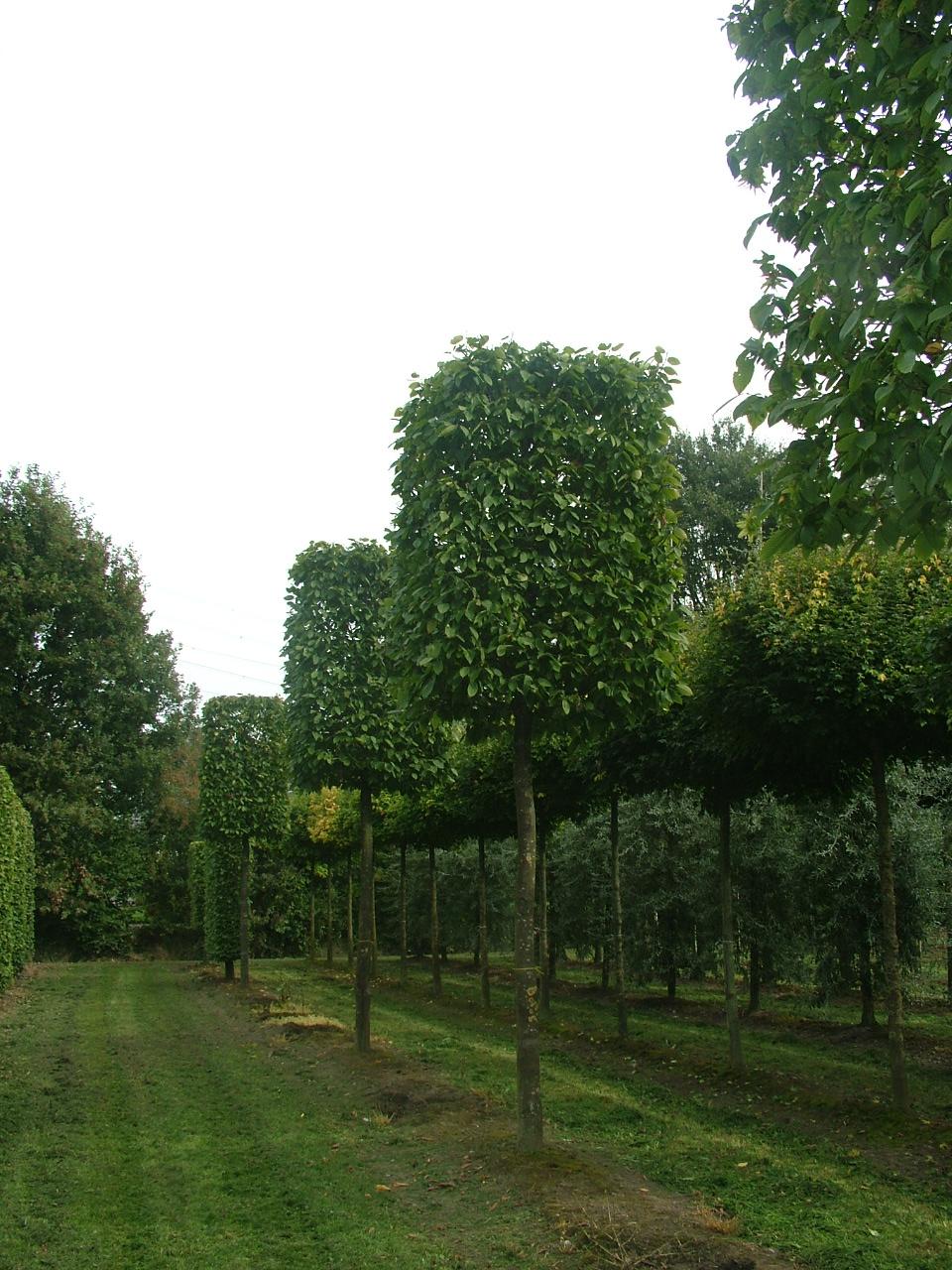 Hornbeam boxhead trees