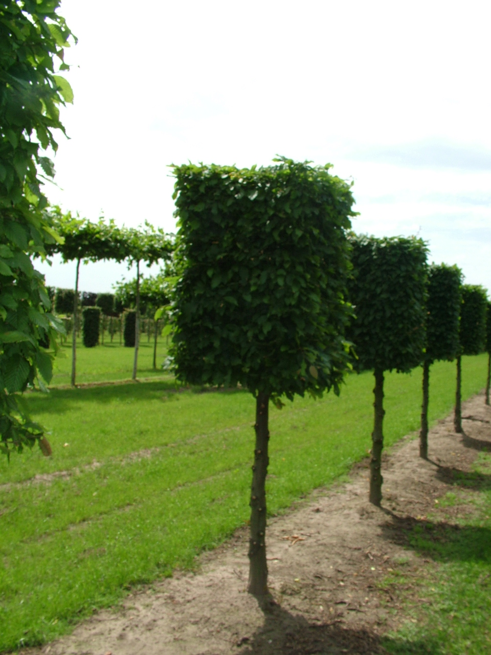 Hornbeam short stem boxhead trees