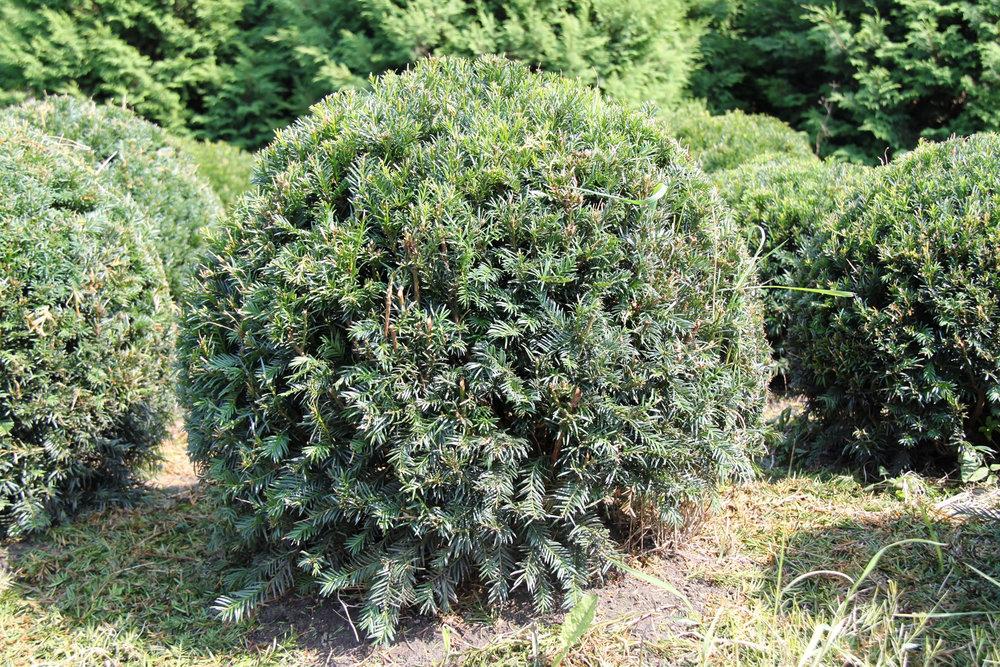 60cm Yew Ball