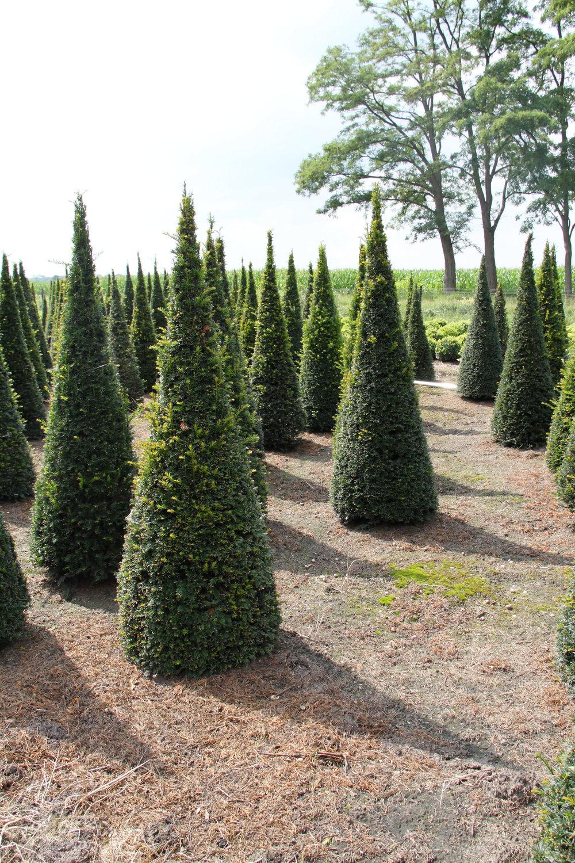 Yew cone field