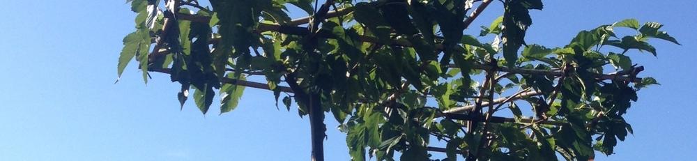 Morus alba parasol tree