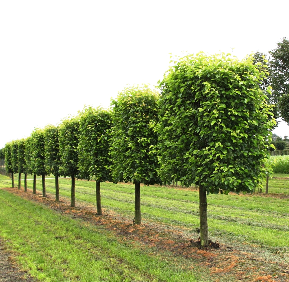 Mature Hornbeam pleached trees