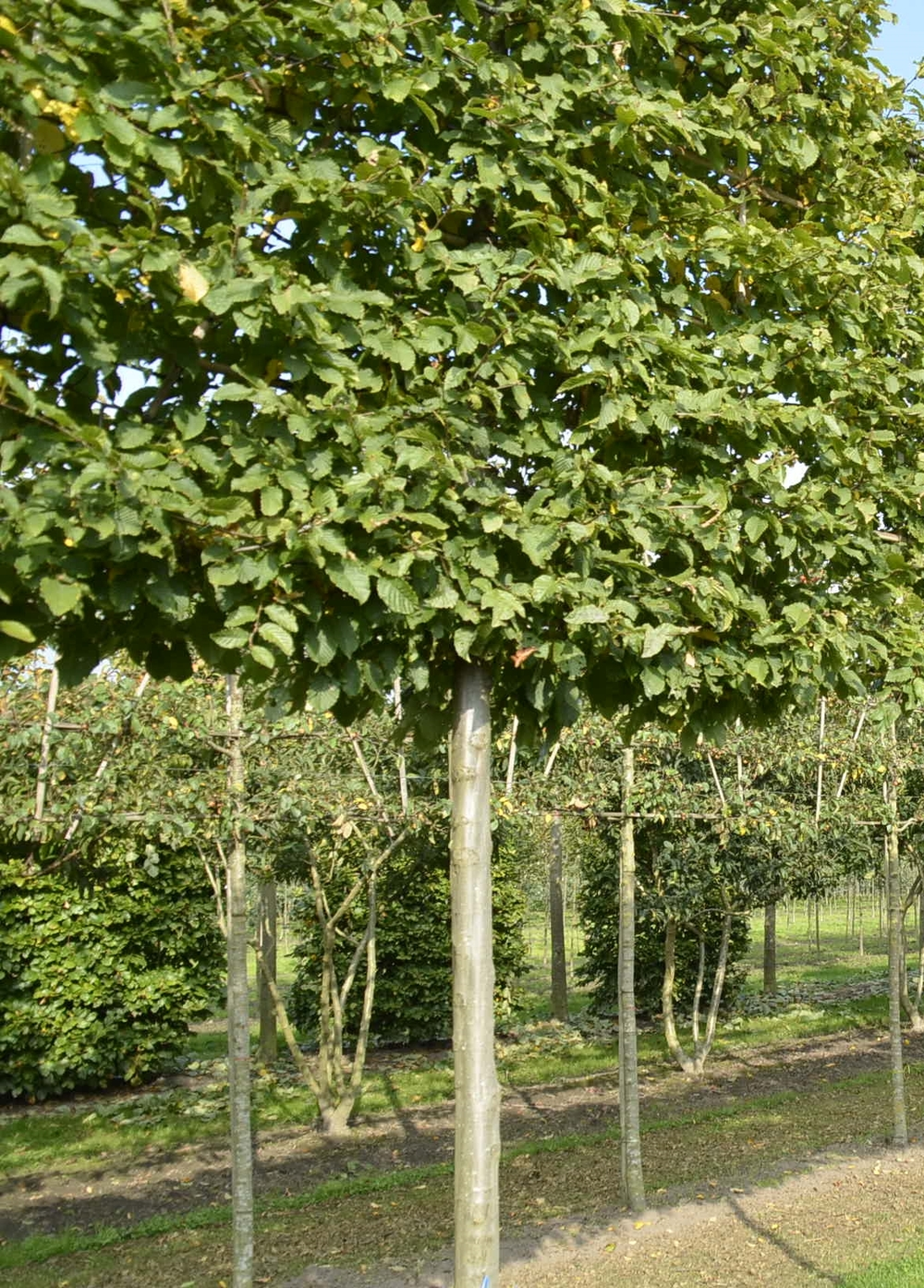 Hornbeam instant screening
