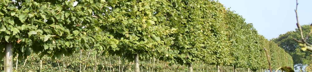 Carpinus betulus pleached trees