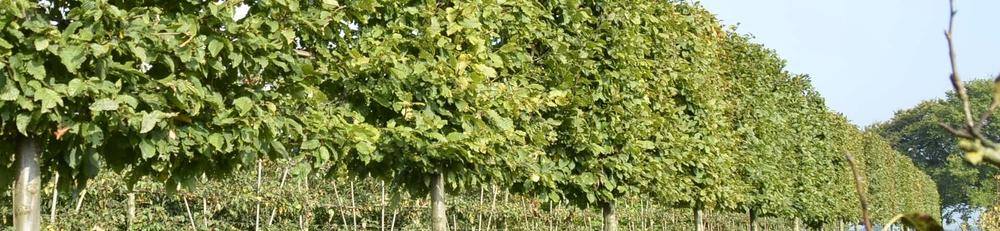 Carpinus betulus pleached trees