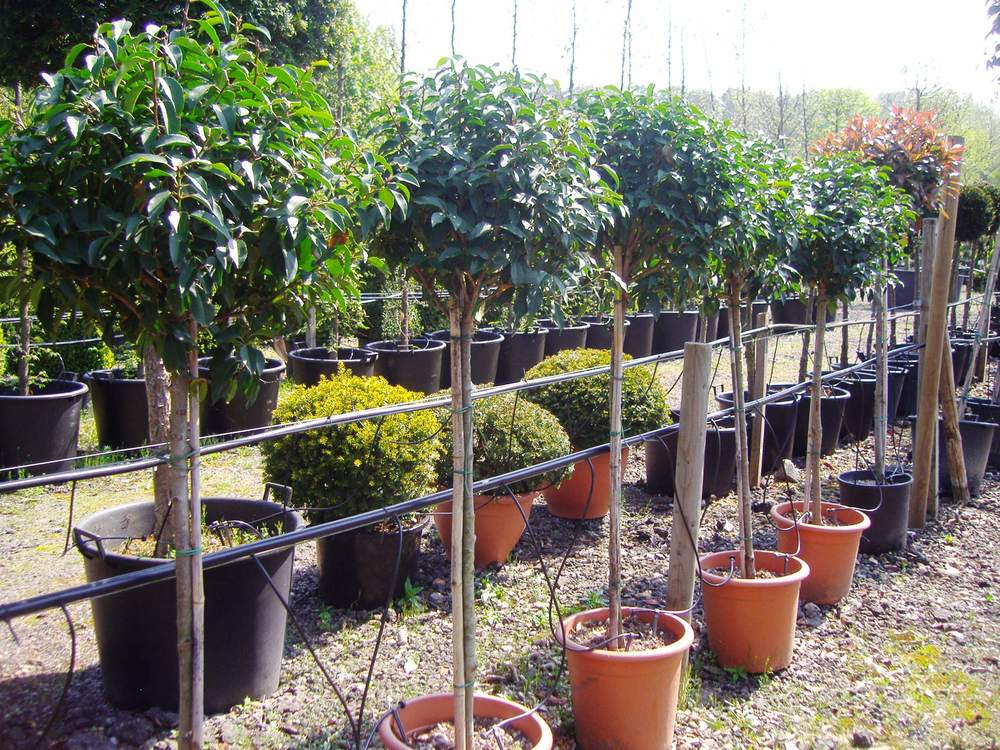 Portuguese laurel half standards