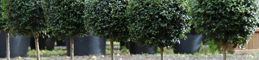 Ligustrum jonandrum lollipops