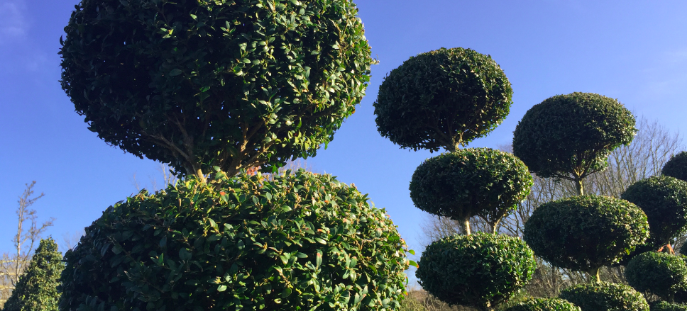Buxus sempervirens trios and quads