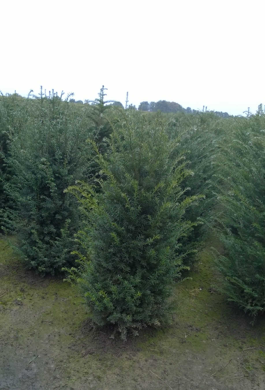Yew hedging plants