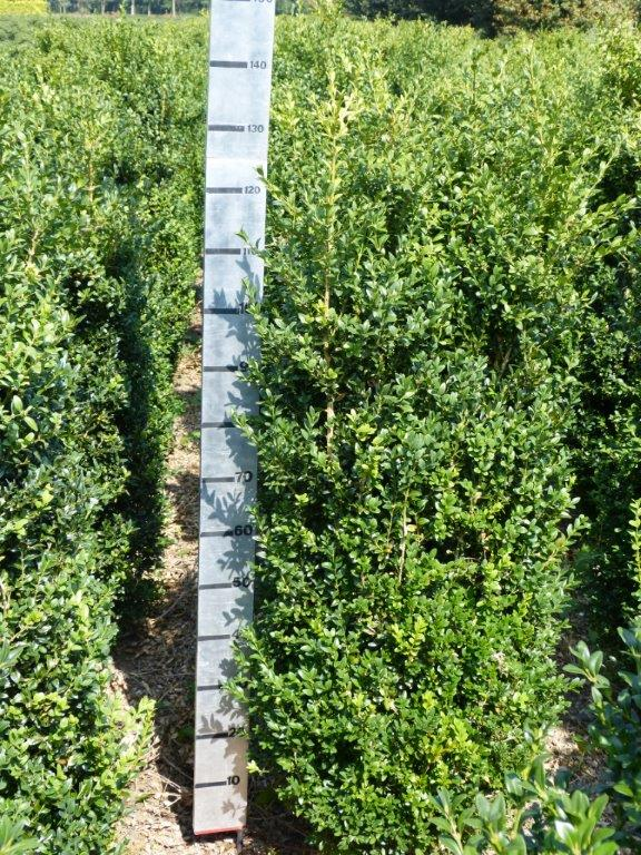 Box hedging plants