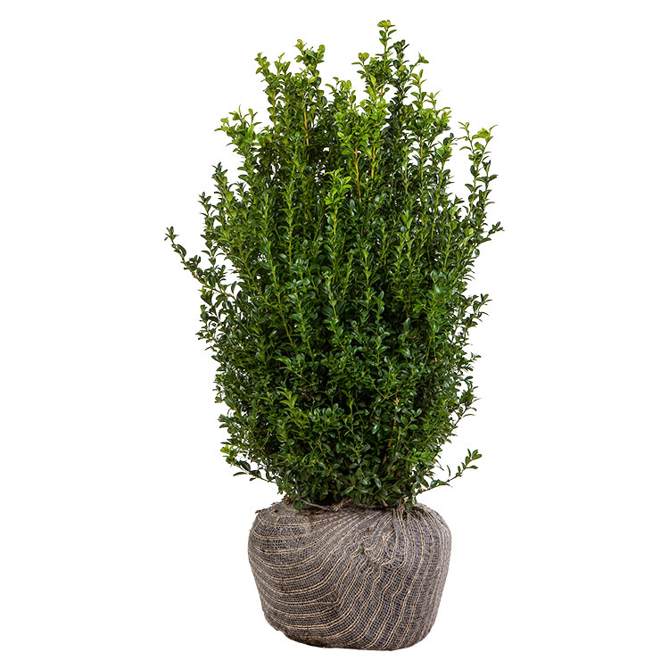 Box 50-60cm hedging plants