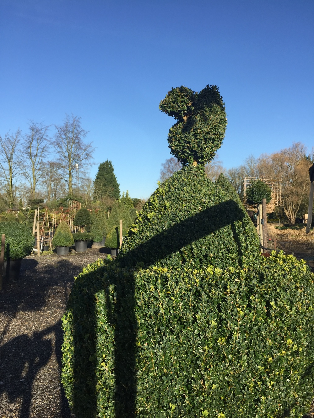 Buxus sempervirens fun shape