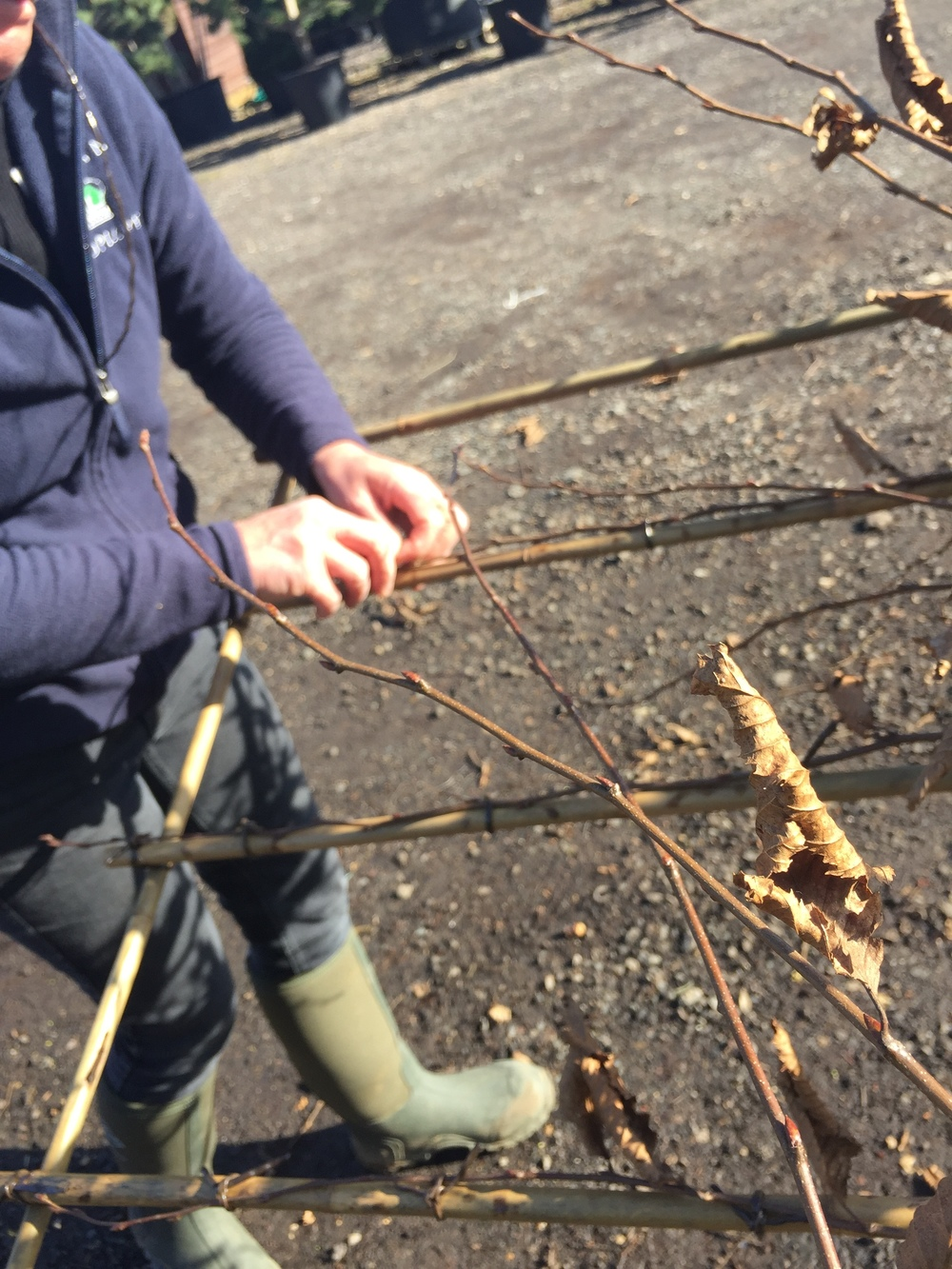 Carpinus betulus pleaching