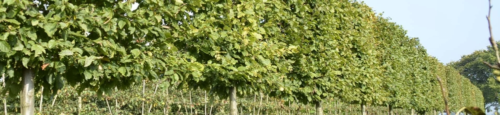Caring for Pleached Trees