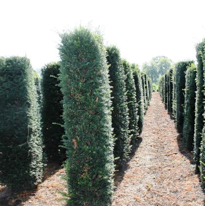 Yew hedging column