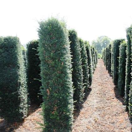 Yew hedging column