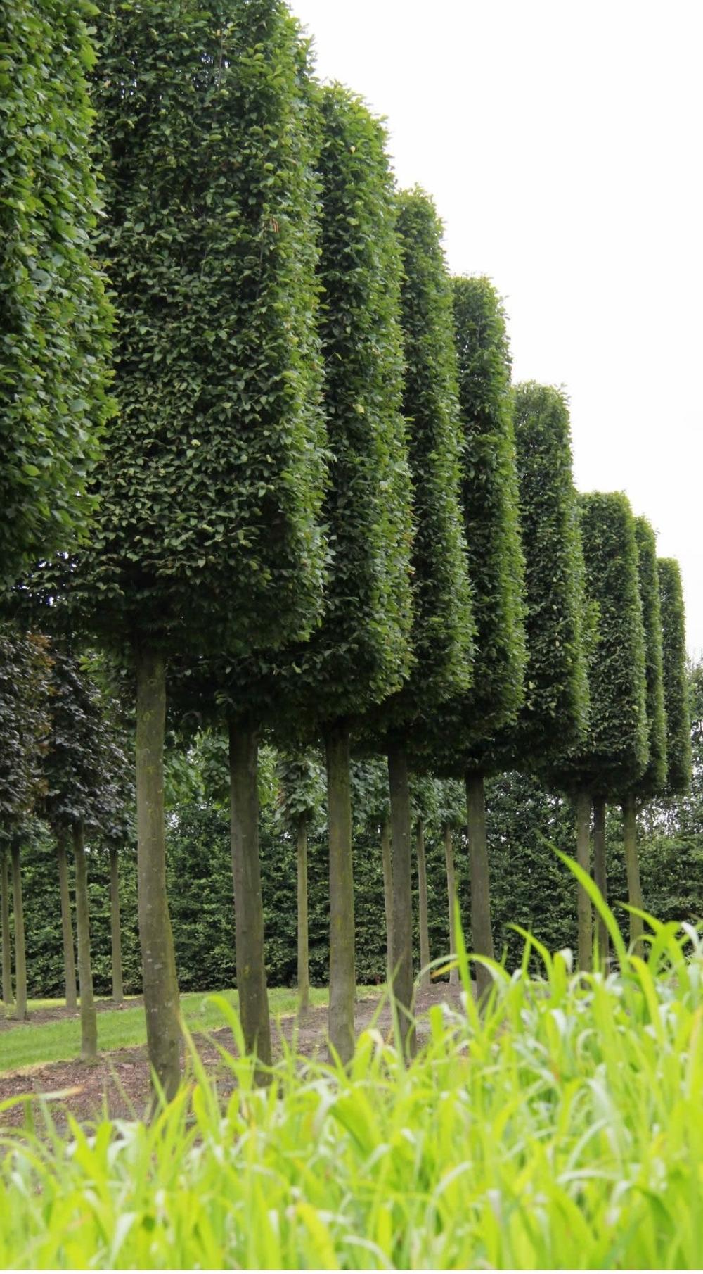 Mature Hornbeam boxhead trees