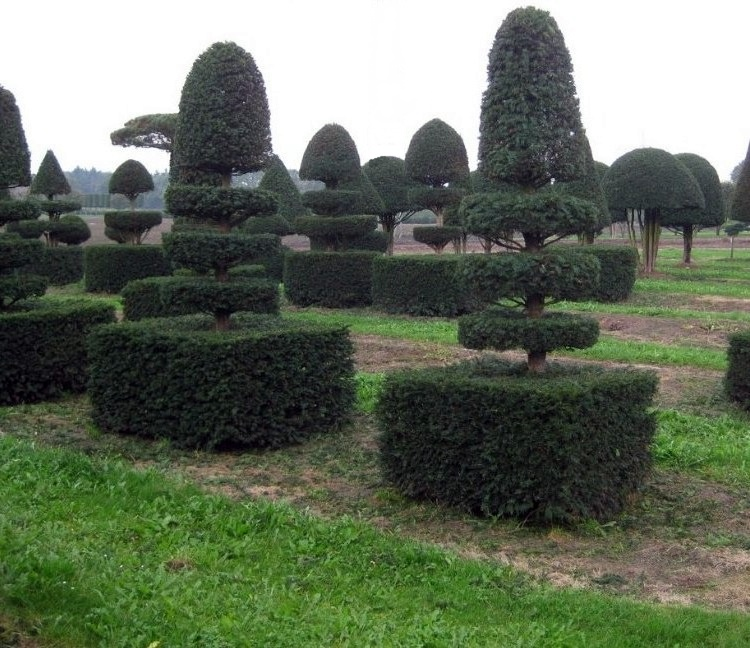 Yew Villandry Shapes