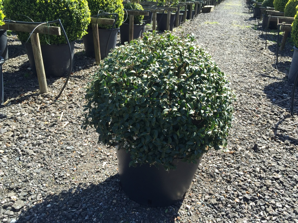 Osmanthus ball