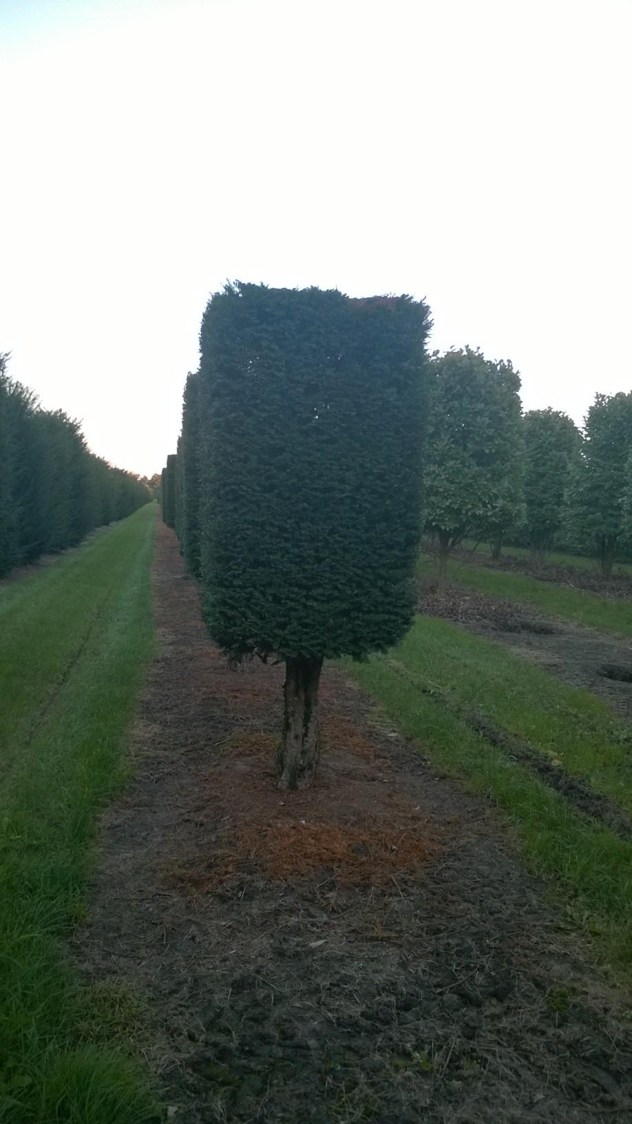 Yew Boxhead