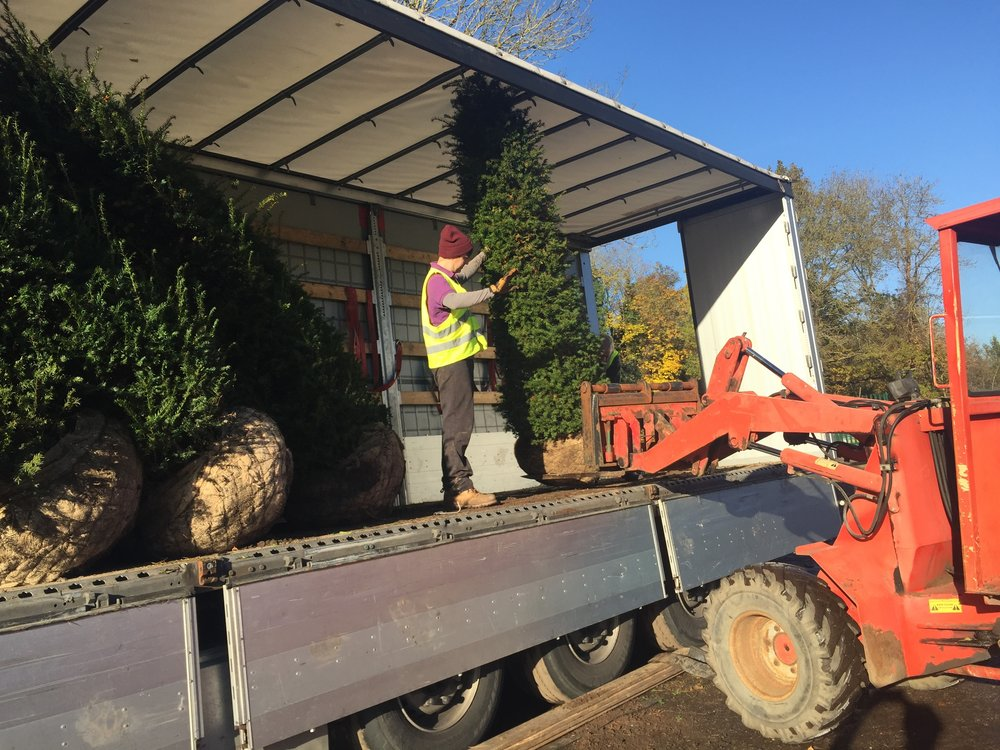 Loading a lorry with Yew hedging