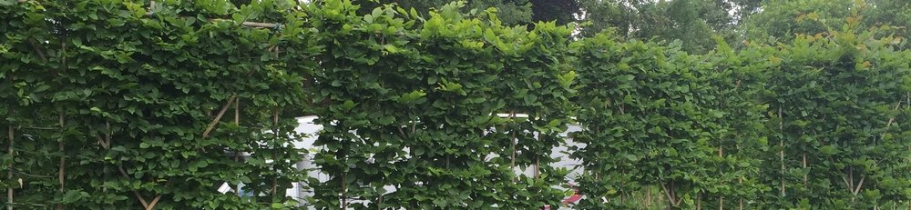 Hornbeam hedging screens at Crown Topiary