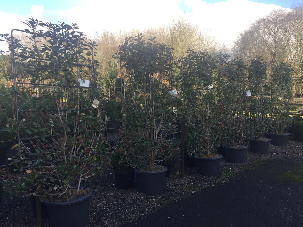 Photinia red robin panel